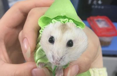 这是一只成精了的小仓鼠