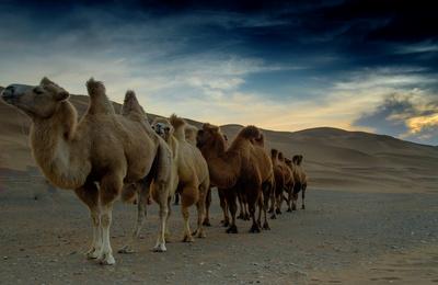 新疆北疆之行(4)沙漠之舟